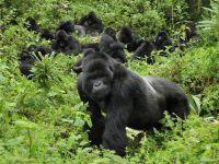 Gorilla's in het wild