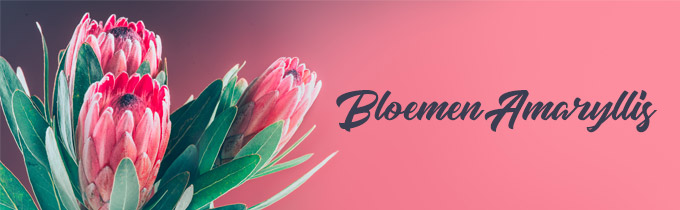 Bloemen Amaryllis