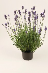 lavendel (Lavandula ang. Munstead)