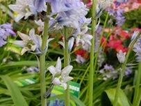 Boshiacint / wilde hyacint