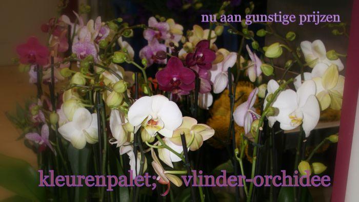 phalaenopsis in alle kleuren ; aan gunstuge prijzen !!!